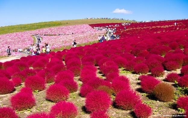 Hitachi-Seaside-Park-Japan1