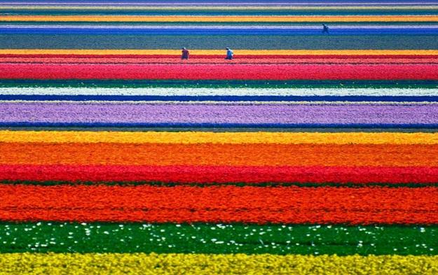Tulip-Fields-in-Netherlands