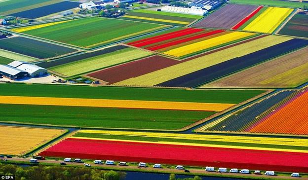 Tulip-Fields-in-Netherlands1
