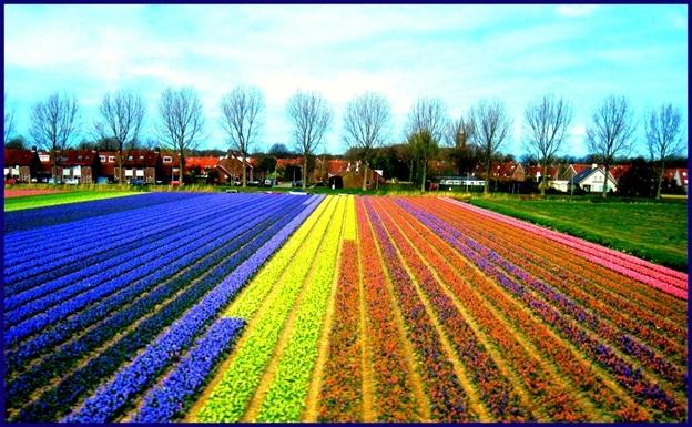 Tulip-Fields-in-Netherlands2
