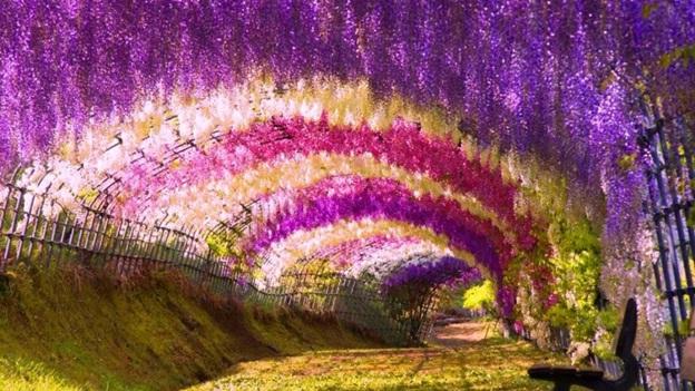 wisteria-flower-tunnel-in-japan