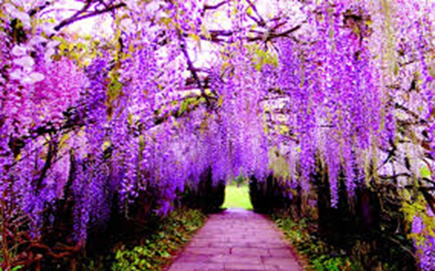 wisteria-flower-tunnel-in-japan1