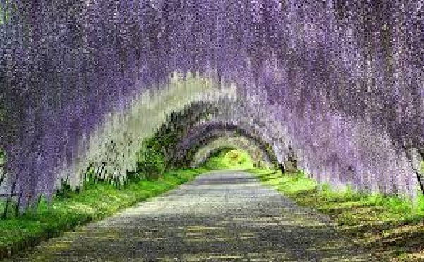 wisteria-flower-tunnel-in-japan3